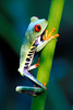 #54 Red Eyed Tree Frog, Costa Rica