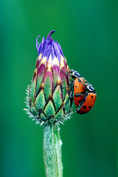 #50 Mating Lady Bugs