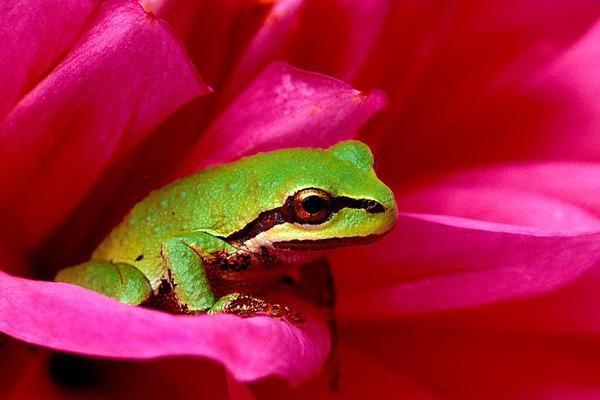 #2 Frog on Dhalia