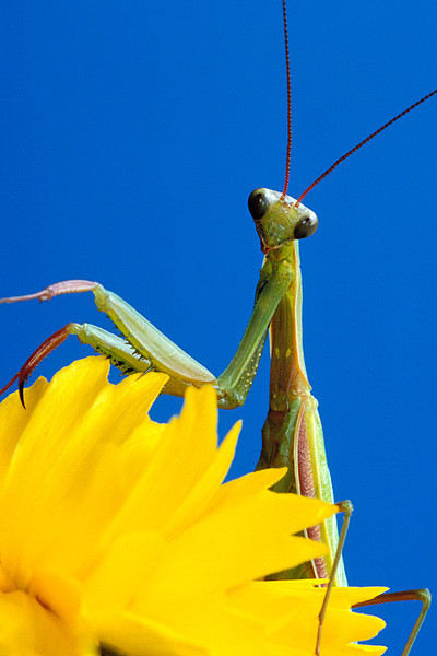 #125 Praying Mantis