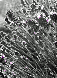 I really like this picture of the Bumble Bee and Lavendar this time i used Black and White with a purple filter, see the hint of colour