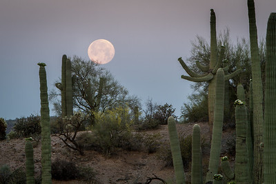 Supermoon Setting with Cactus Blooms