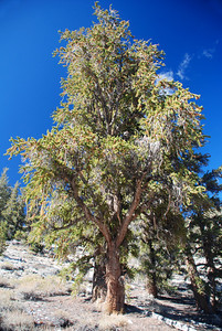 Bristlecone Pine Forest, California