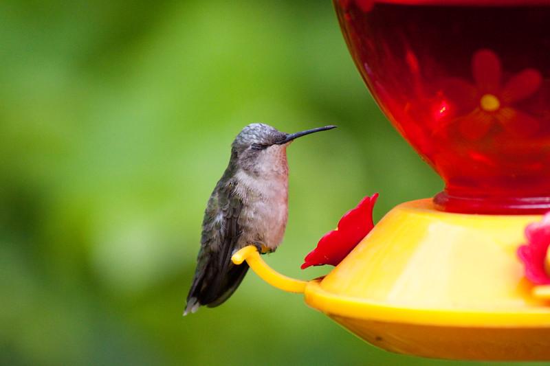 Grandma's Hummingbird