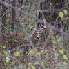The week after I saw the 8 pointer I went back down in the woods again and I saw this 10 pointer!