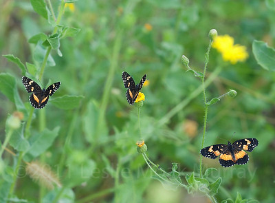 Bordered Patch Butterflies