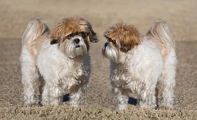 Two Shih-Tzu Dogs With Puppy-Cut grooming