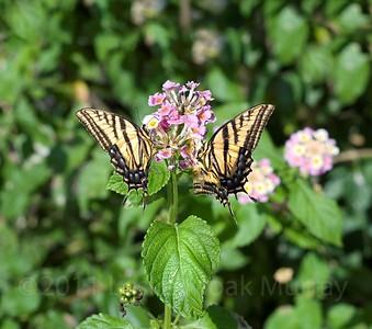 Pair of Tiger Swallowtail butterflies on a lantana flower