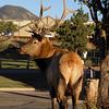 Estes Park elk takes a moment