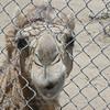 Nosy camel