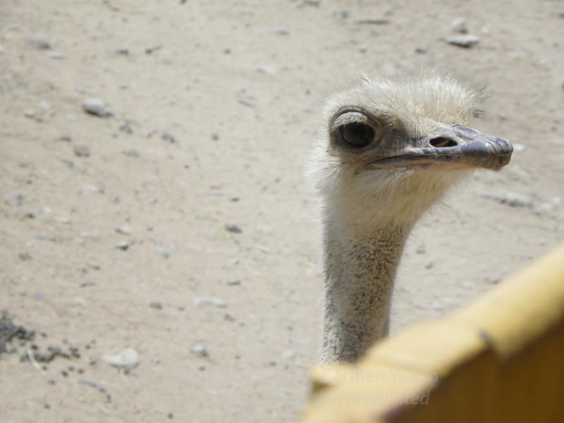 Peeking ostrich