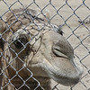 Handsome camel