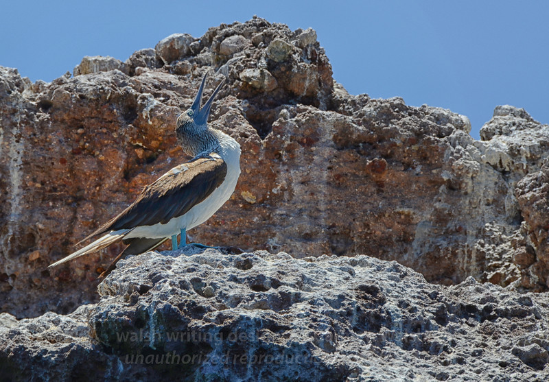 Call of the Blue-Footed Booby