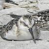 Taking a bird nap