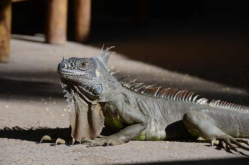 An Iguana and His Shadow