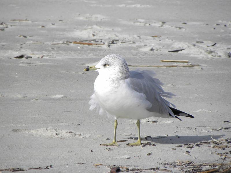 Windblown seagull