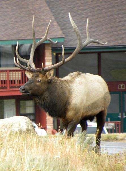 Bull elk at the Y