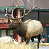 Bull elk at the Y