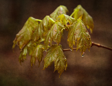 #vermont #vermontbyvermonters #spring #leaves #may #macro #rain #macrophotography  #nature #woods