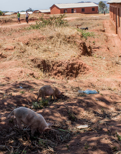 Ngima village pigs