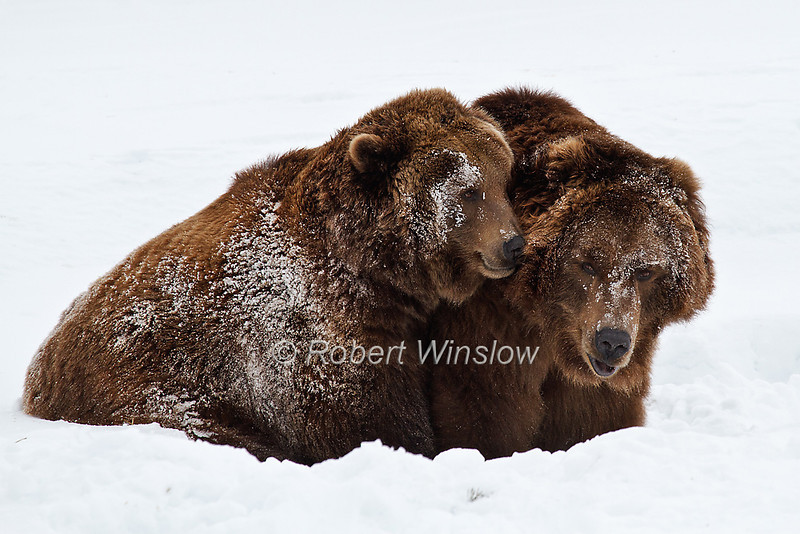 """This image of two Alaskan Brown Bears taken by Robert has been awarded a Highly Honored image in this year's Windland Smith Rice International Awards <a href=""""http://www.naturesbestphotography.com/competition_overview.php"""">http://www.naturesbestphotography.com/competition_overview.php</a>! The photograph appears in the Fall/Winter 2011 issue of Nature's Best Photography in the Zoos & Aquariums category.<br /> <br /> Out of more than 21,000 images, approximately 500 photos made it into the semi-final round of judging (Robert had three that were semi-finalists) and the 133 Highly Honored images are published in the Fall/Winter issue.<br /> <br /> The photograph was taken at the Grizzly & Wolf Discovery Center in West Yellowstone, MT an AZA Accredited Not-for-Profit Wildlife Park and Educational Facility.<br /> <br /> The bear's names are Illie and Sam.  They were rescued as orphans in 1996 near King Salmon, AK.  Sam weighs about 1,000 lbs, and Illie 750lbs.<br /> Written permission has been granted to market the images.<br /> <br /> After a Winter trip into Yellowstone National Park, we visited the Grizzly and Wolf Discovery Center in West Yellowstone, MT. Because of a connection with wildlife programs, we were given a complementary personal tour of the facility.  We had a few minutes to photograph in near zero degree temperatures while two twin Alaskan brown bear siblings played in the snow.  Robert took the opportunity to capture a few hand-held images with a Canon 100-400mm IS zoom. In one photo Illie is biting on Sam's ear in a playful gesture.<br /> <br /> Robert is an avid supporter of Wildlife Conservation and Environmental Education.  At the end of the tour of this impressive facility, he was happy to make a financial donation to support their mission. Later, he sent them a CD of the images from this shoot, granting them permission to use the images in their fund-raising, educational and other projects. It is very meaningful to him to support the Center both w"""
