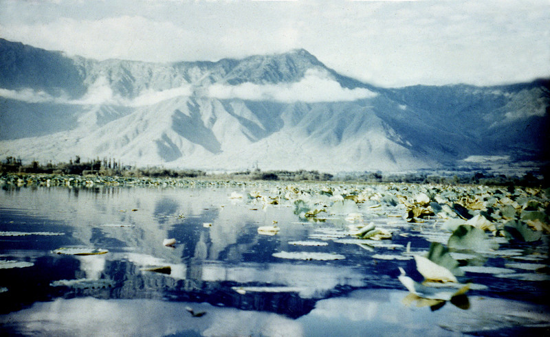 India, Kashmir (1958) - Lotus beds on Dal Lake.