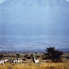 Kenya (1963) - Zebras at the foot of Kilimanjaro.