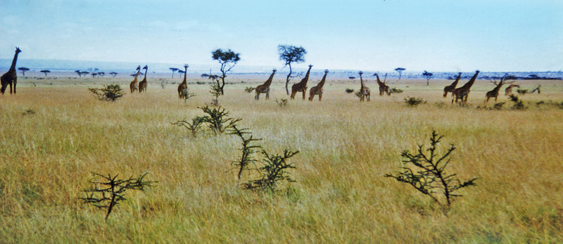 Extreme northern Uganda, Kidepo National Park (1965) - a family of giraffe grazing across the Kazinga Plains.