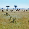 Extreme northern Uganda, Kidepo National Park (1965) - a family of giraffe grazing across the Kazinga Plains.