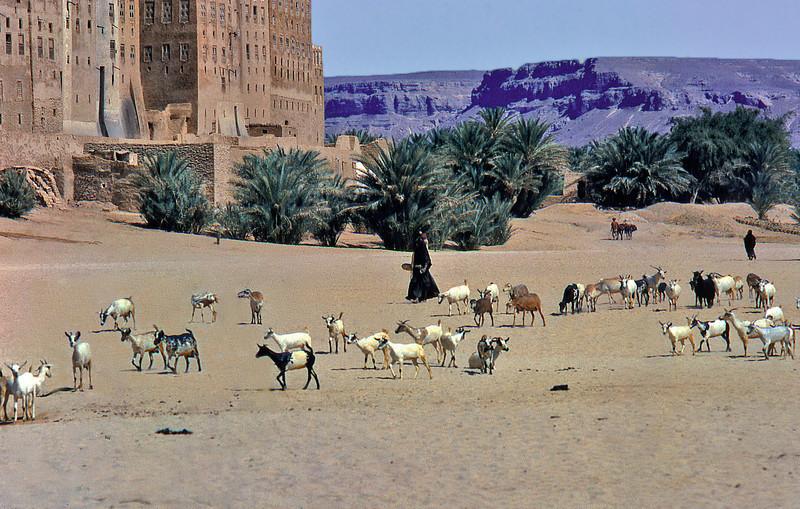 South Arabia (1961) - Goats heading for the wells of Shibam, Wadi Hadhramaut.