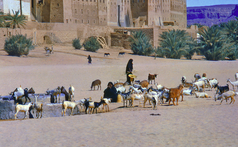 South Arabia (the 1960s) - Goats at the well outside Shibam, Wadi Hadhramaut.