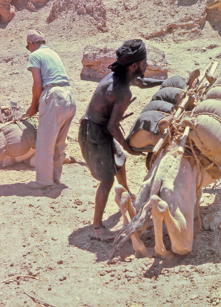 South Arabia (1964) - Loading a camel, Wadi Arabah.