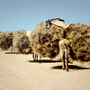 Iran, main road near Abadeh. A camel caravan carrying improbably large loads of thorn bushes.