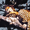 Tanganyika, Lake Manyara (1963) - Leopard up a tree. He really was this close.