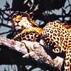 Tanganyika, Lake Manyara (1963) - Leopard up a tree. He really was this close.