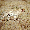 Africa, Kenya (1965) Cheeta on Serengeti Plains.