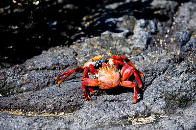 Ecuador, Galapagos Islands, Sally Lightfoot Crab