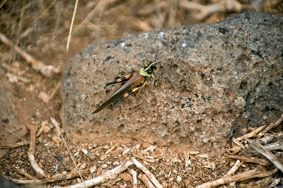 Ecuador, Galapagos Islands, Santa Cruz,Grasshopper