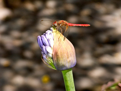 Ecuador, Otovalo, Red Dragonfly