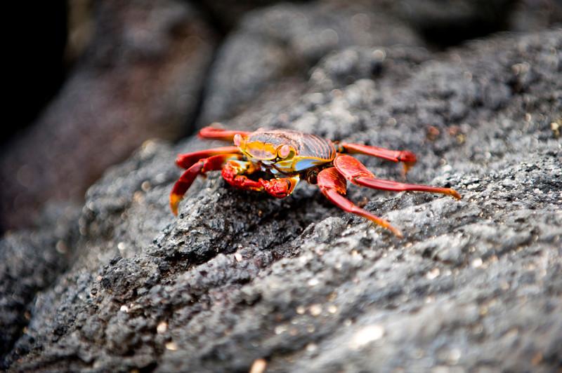 Ecuador, Galapagos Islands, Sally Lightfoot Crab