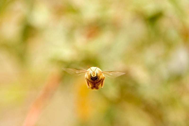 Ecuador, Galapagos Islands,Isabella, Large Bee