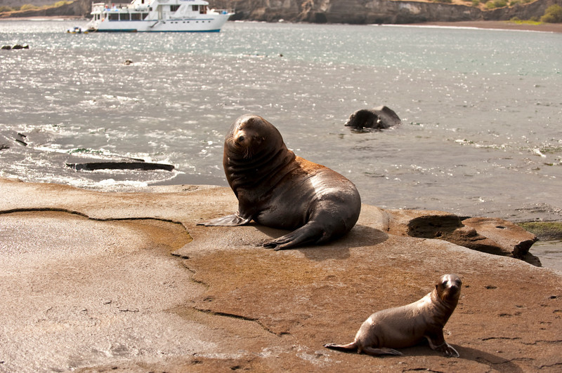 Ecuador, Galapagos Is., Galapagos Sea Lion