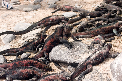 Ecuador, Galapagos Is., Marine Iguana