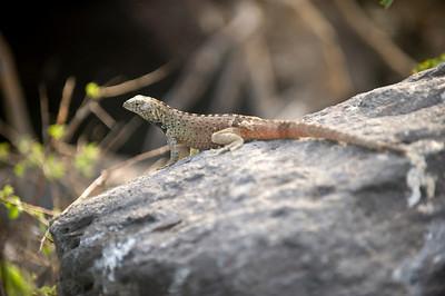Ecuador, Galapagos Lava Lizard