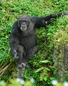 Chimp along