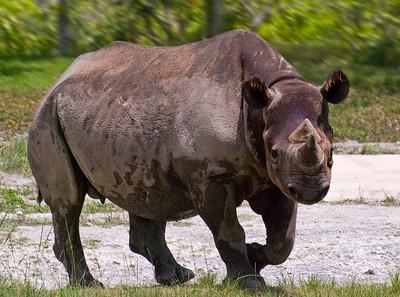 Rhino coming!