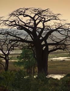 Boabob Tree - Chobe