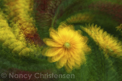 Black-eyed Susan Impression I