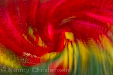 Red & Yellow Tulip Impressions I