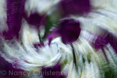 Purple & White Tulips in Motion